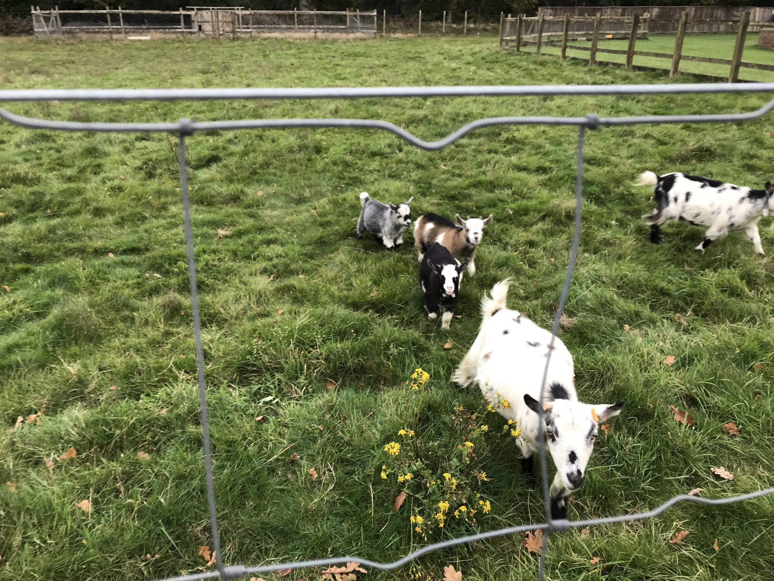 Goats in field